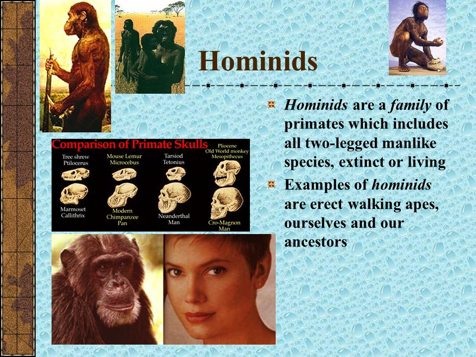 Hominids Hominids are a family of primates which includes all two-legged manlike species, extinct or living.