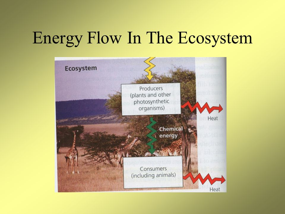 Energy Flow In The Ecosystem