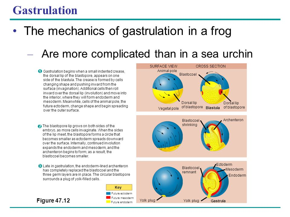 The mechanics of gastrulation in a frog