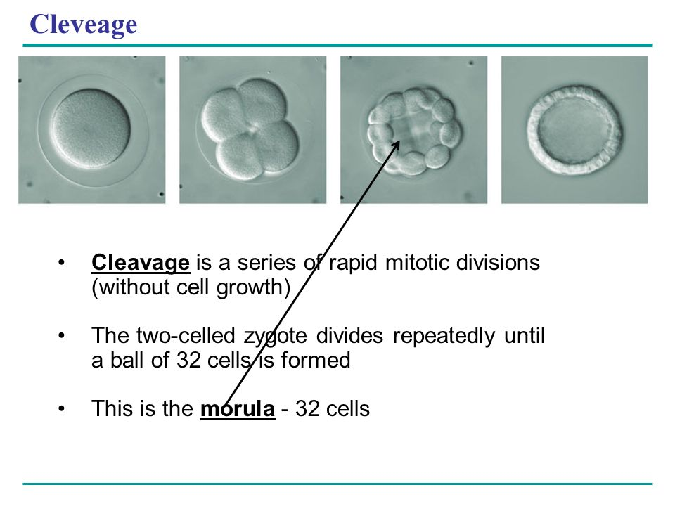 Cleveage Cleavage is a series of rapid mitotic divisions (without cell growth)