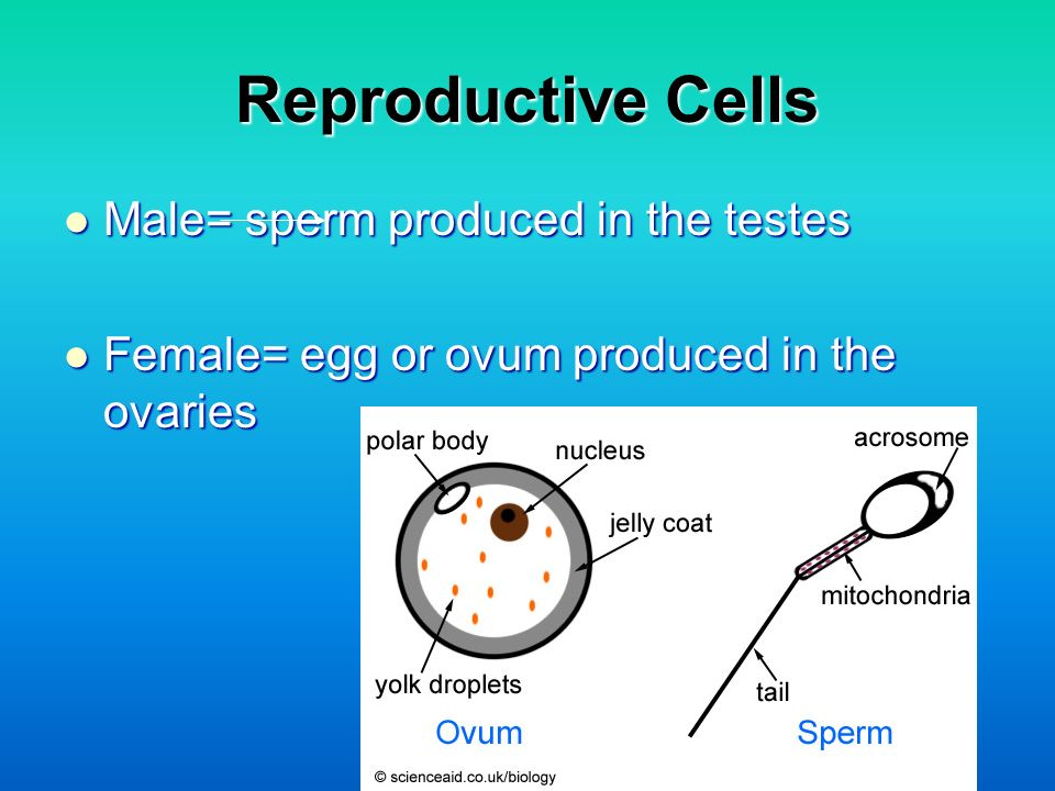 Reproductive Cells Male= sperm produced in the testes