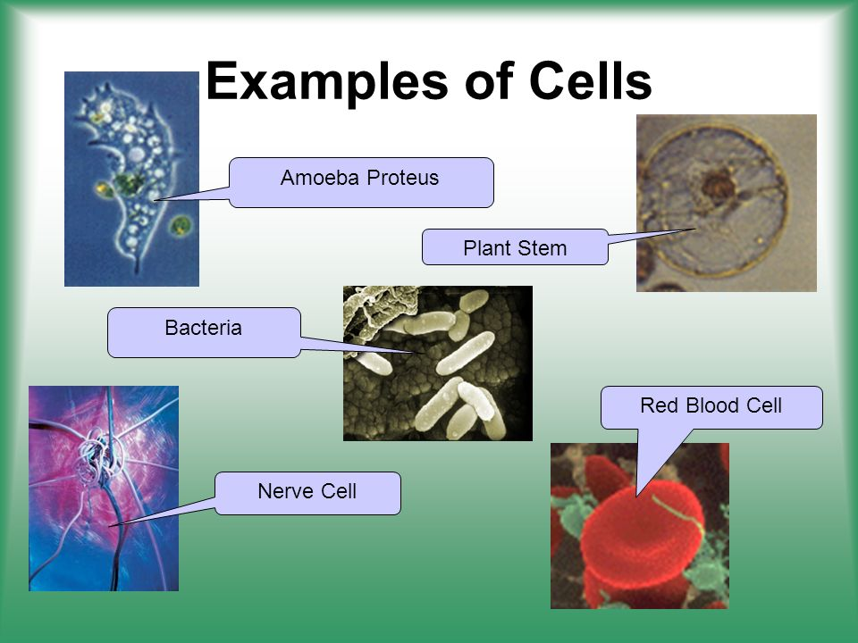 Examples of Cells Amoeba Proteus Plant Stem Bacteria Red Blood Cell