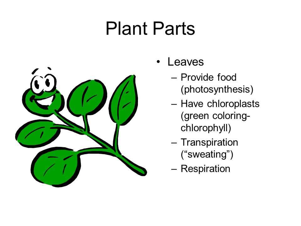Plant Parts Leaves Provide food (photosynthesis)