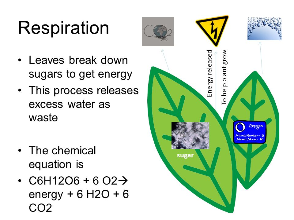 Respiration Leaves break down sugars to get energy