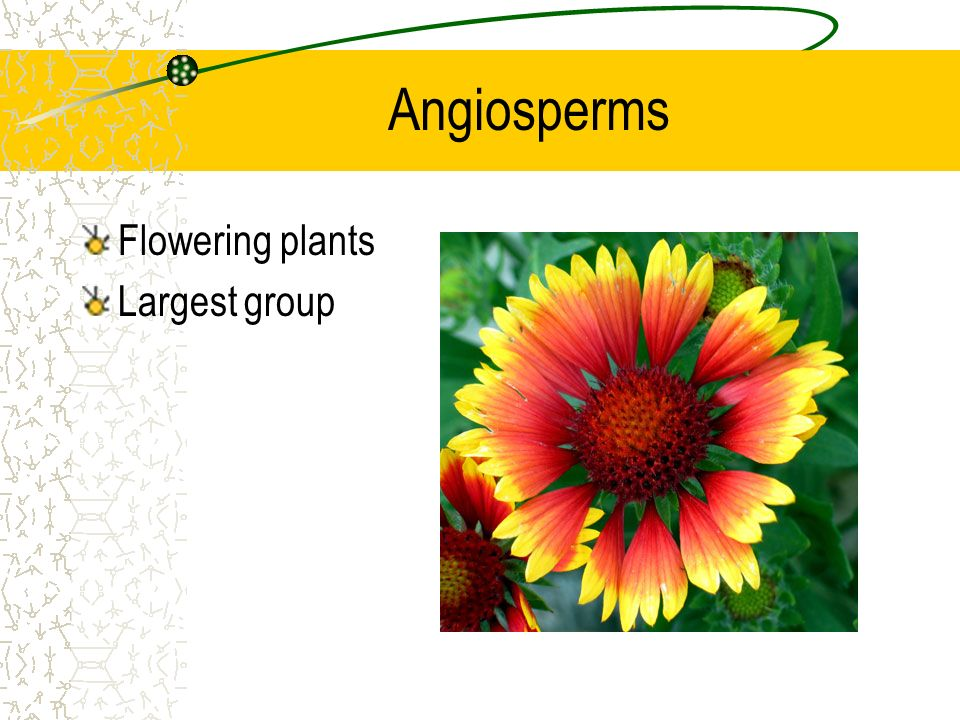 Angiosperms Flowering plants Largest group Pic is hyperlink