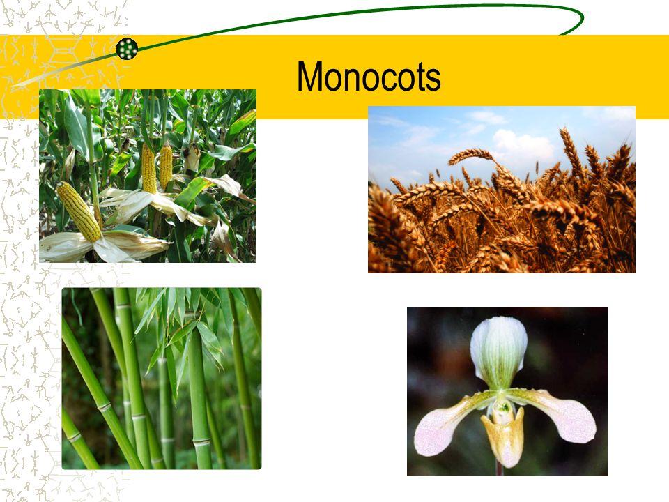 Monocots