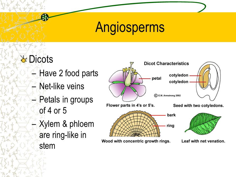 Angiosperms Dicots Have 2 food parts Net-like veins