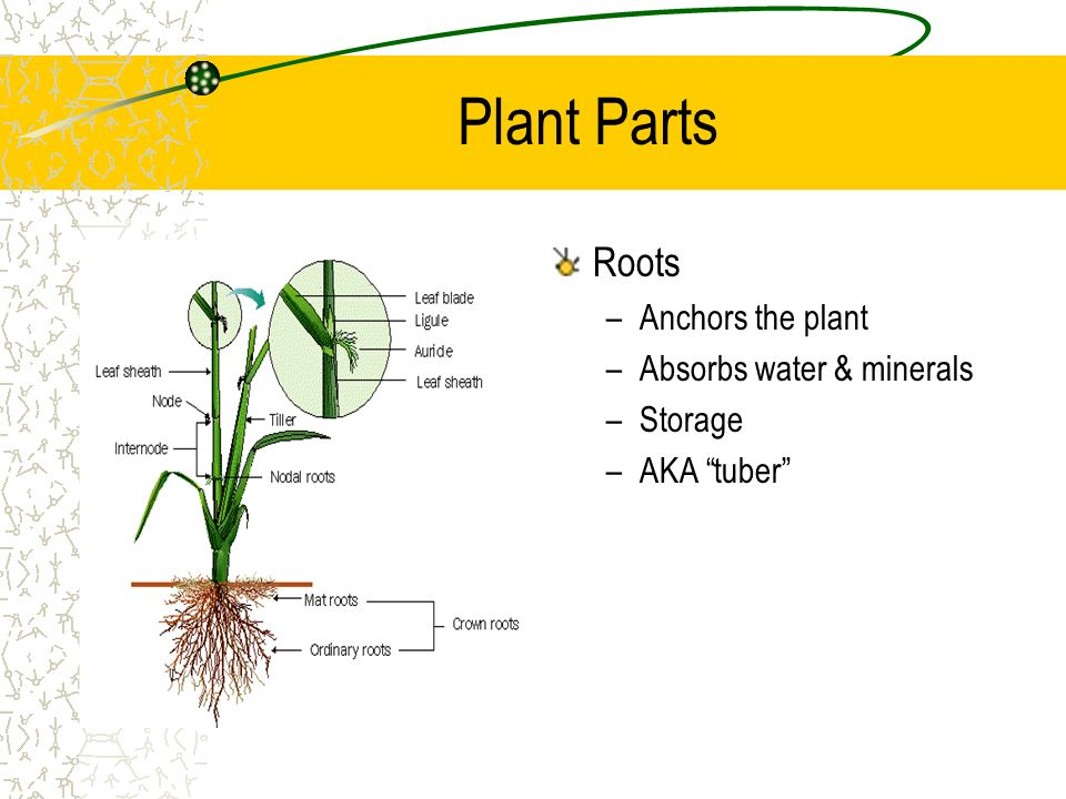 Plant Parts Roots Anchors the plant Absorbs water & minerals Storage