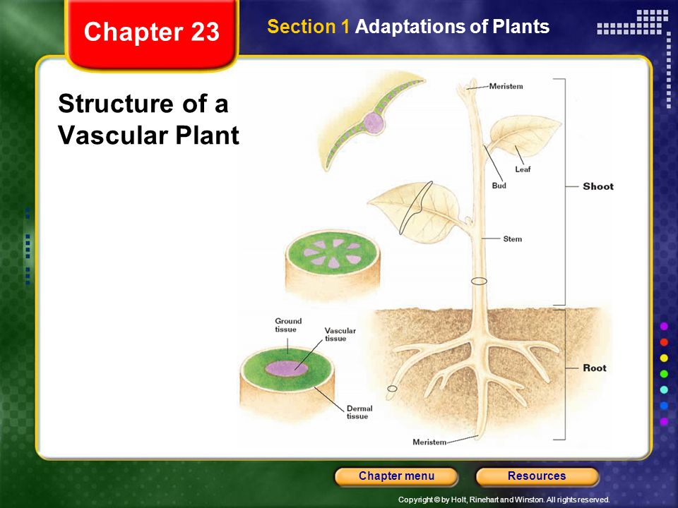 Structure of a Vascular Plant