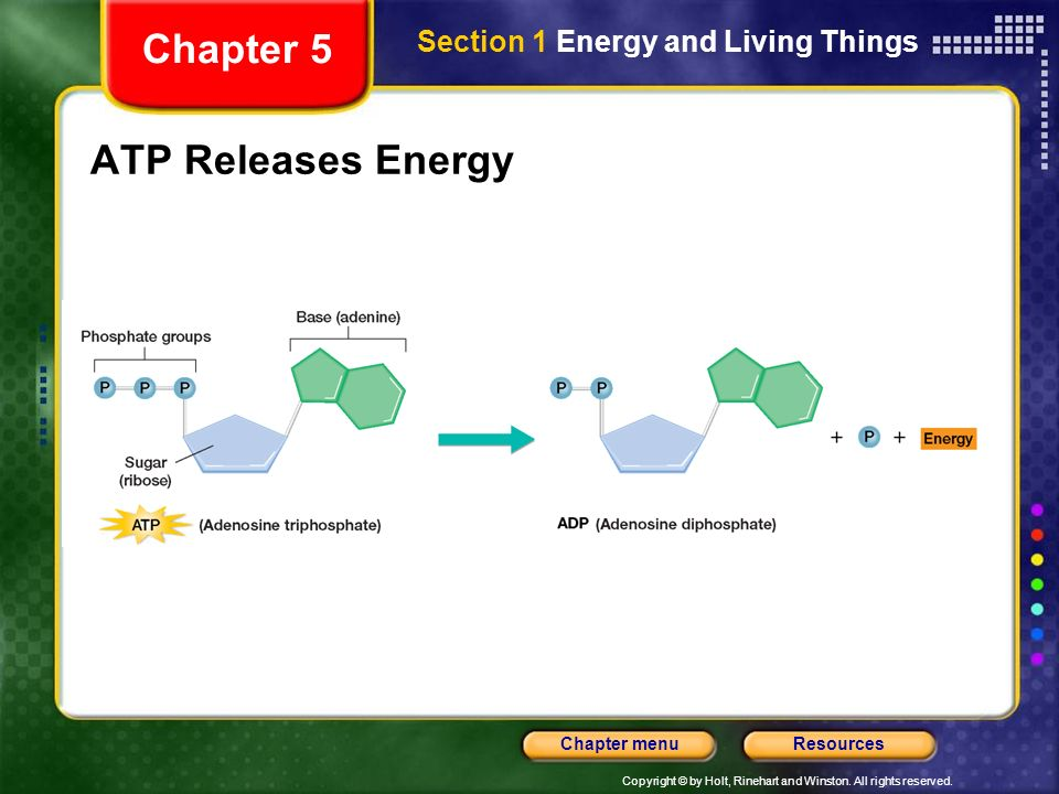 Chapter 5 Section 1 Energy and Living Things ATP Releases Energy