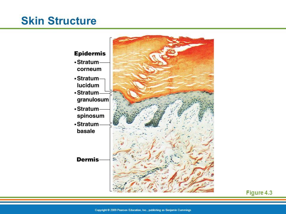 Skin Structure Figure 4.3