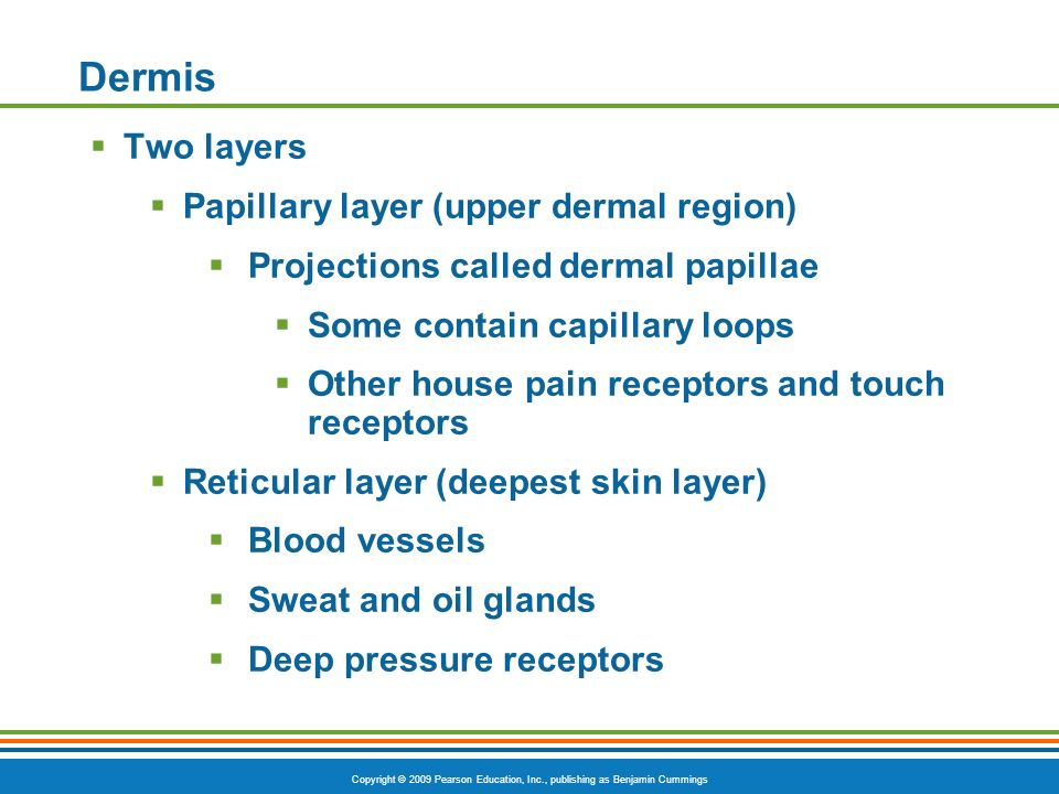 Dermis Two layers Papillary layer (upper dermal region)