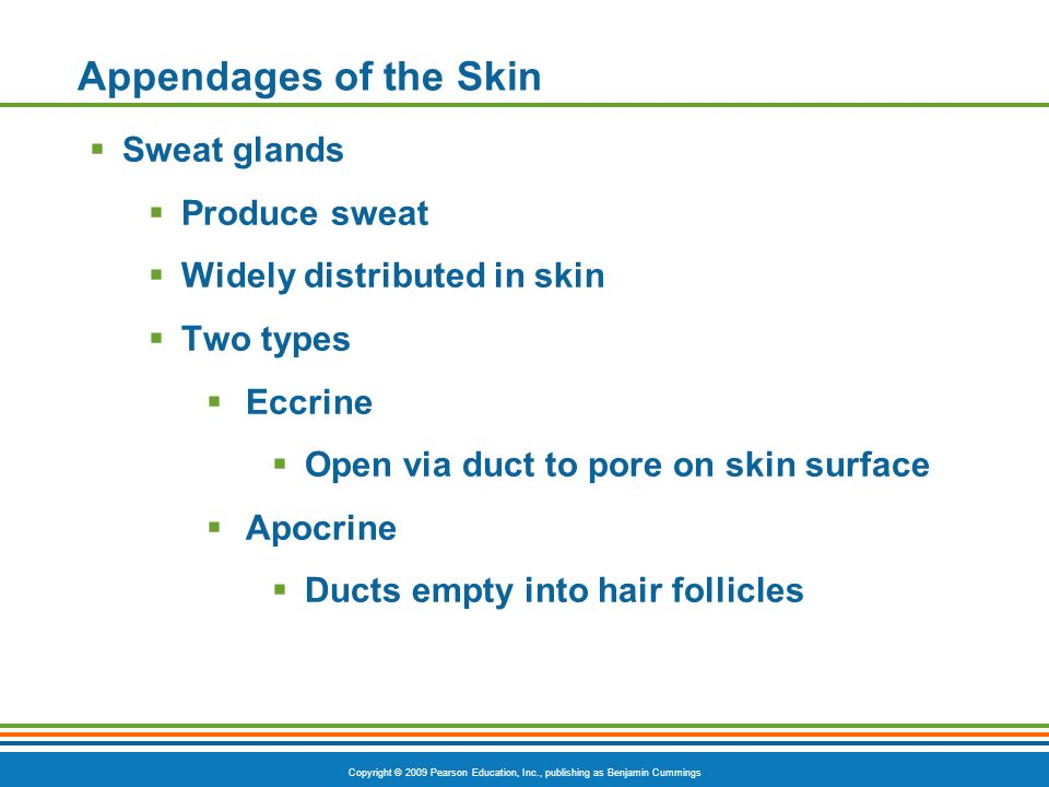 Appendages of the Skin Sweat glands Produce sweat