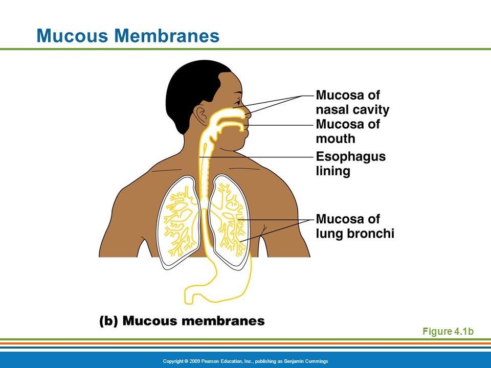 Mucous Membranes Figure 4.1b