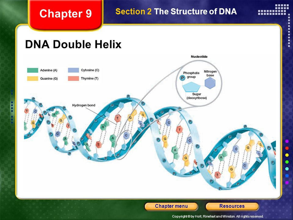 Chapter 9 Section 2 The Structure of DNA DNA Double Helix