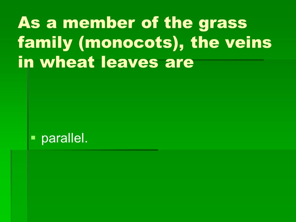 As a member of the grass family (monocots), the veins in wheat leaves are