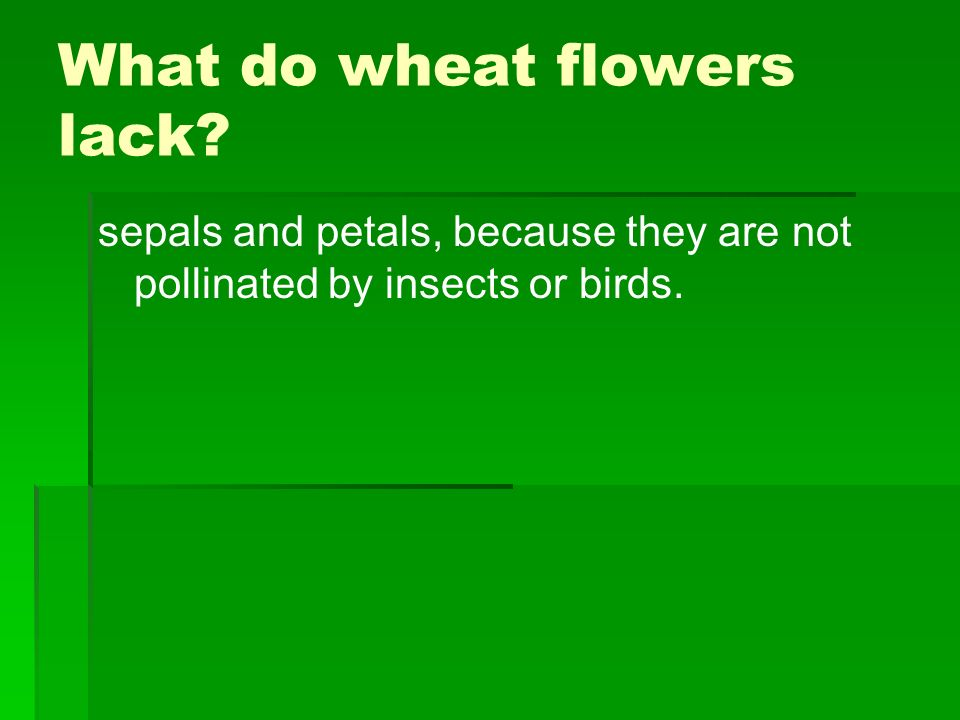 What do wheat flowers lack