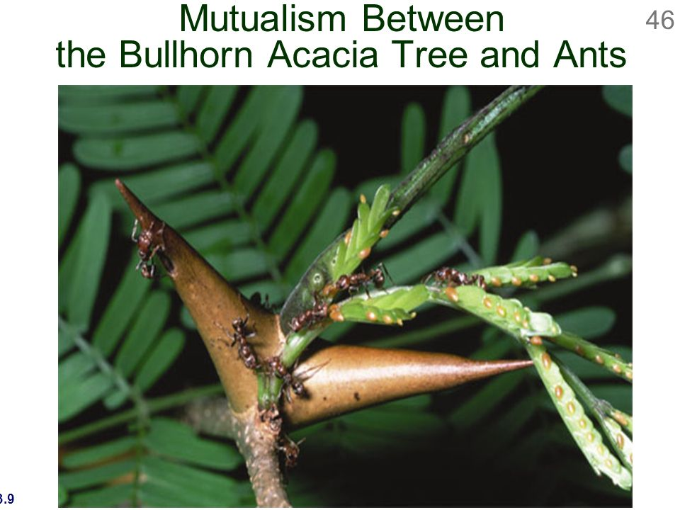 acacia tree and ants relationship with plants