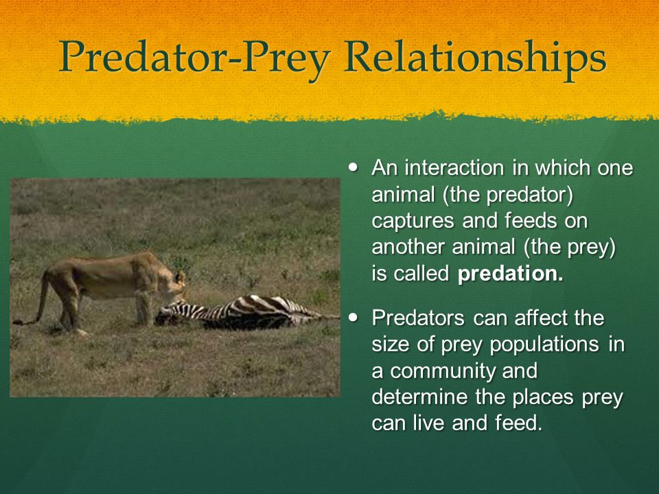 predator and prey interaction Predators and their prey evolve together over time, prey animals develop adaptations to help them avoid being eaten and predators develop strategies to make them more effective at catching their prey.