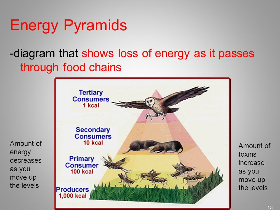 Energy Pyramids -diagram that shows loss of energy as it passes through food chains. Amount of energy.