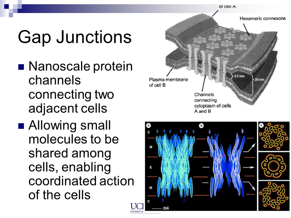 Gap Junctions Nanoscale protein channels connecting two adjacent cells