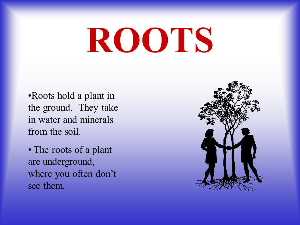 ROOTS Roots hold a plant in the ground. They take in water and minerals from the soil.