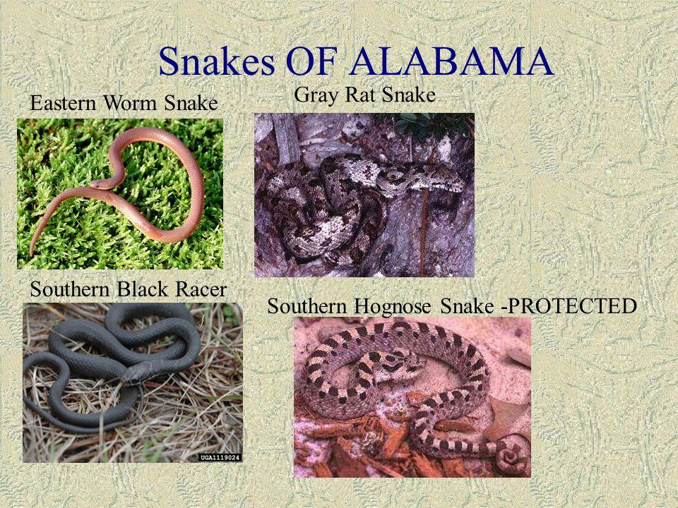 Alabama black snake - 3 part 8
