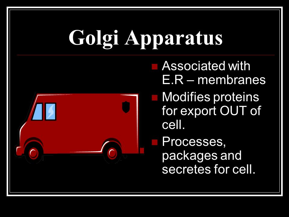 Golgi Apparatus Associated with E.R – membranes