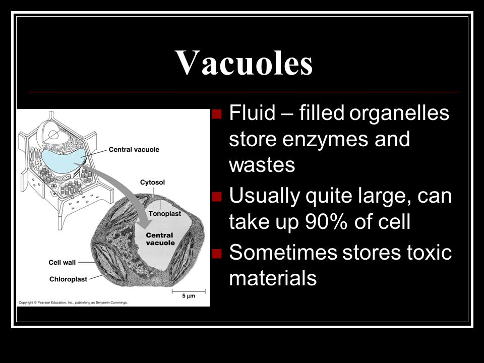Vacuoles Fluid – filled organelles store enzymes and wastes