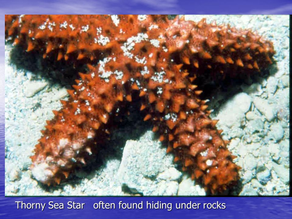West Indian Sea Stars Juvenile and Adult CR-271 / 367 Shallow sea grass beds and sandy flats