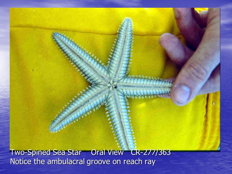 West Indian Cushion Star in a Turtle Grass bed