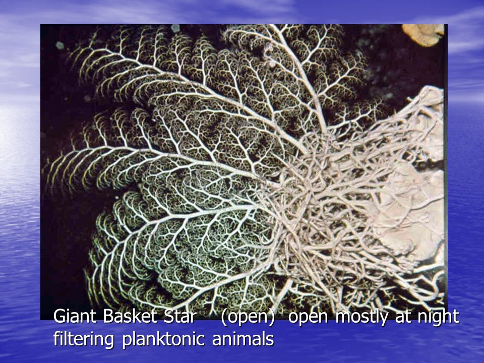 Blunt Spined Brittle Star CR-283/373