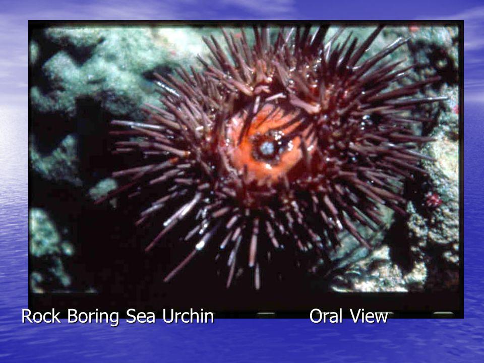 Sponge Brittle Star (CR 281/371)