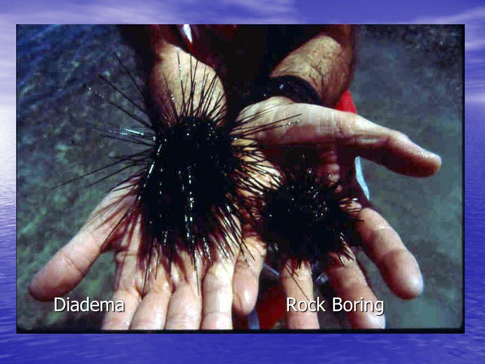 Sponge Brittle Star on zoanthid CR-281/371