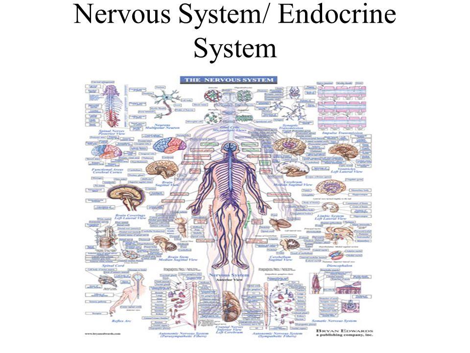 Nervous System/ Endocrine System