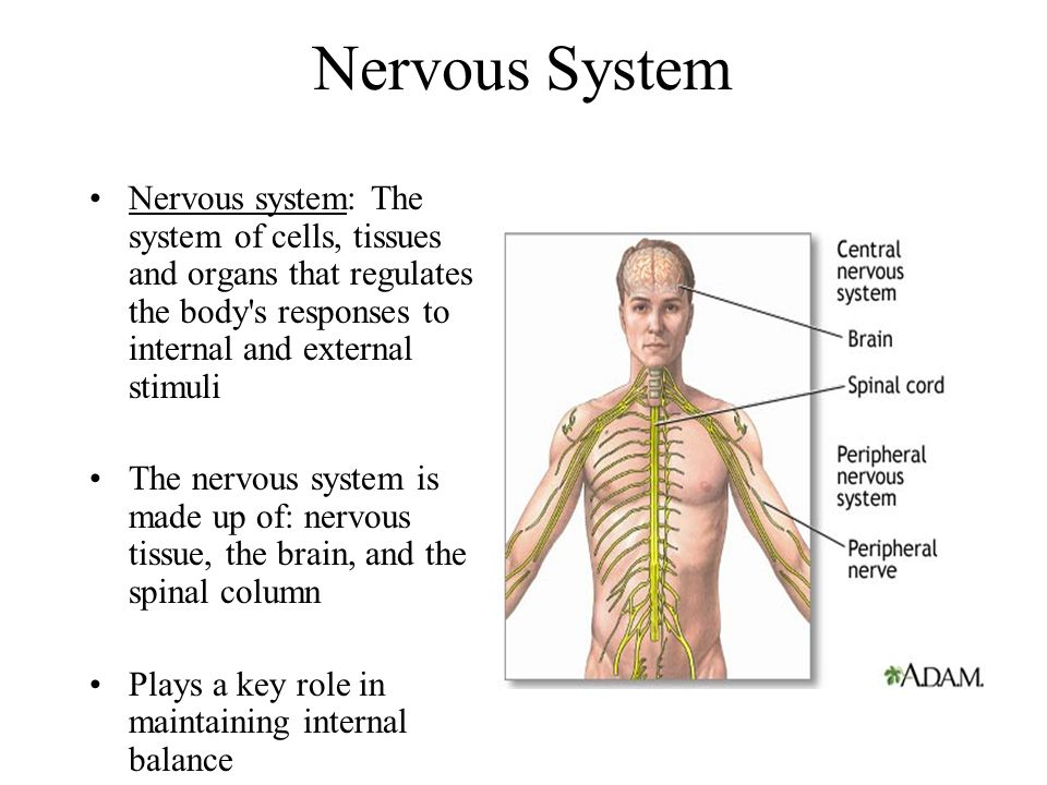 Nervous System Nervous system: The system of cells, tissues and organs that regulates the body s responses to internal and external stimuli.
