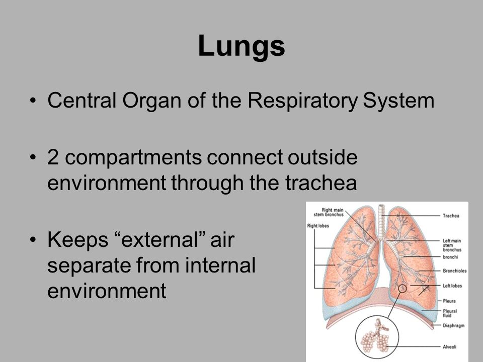 Lungs Central Organ of the Respiratory System