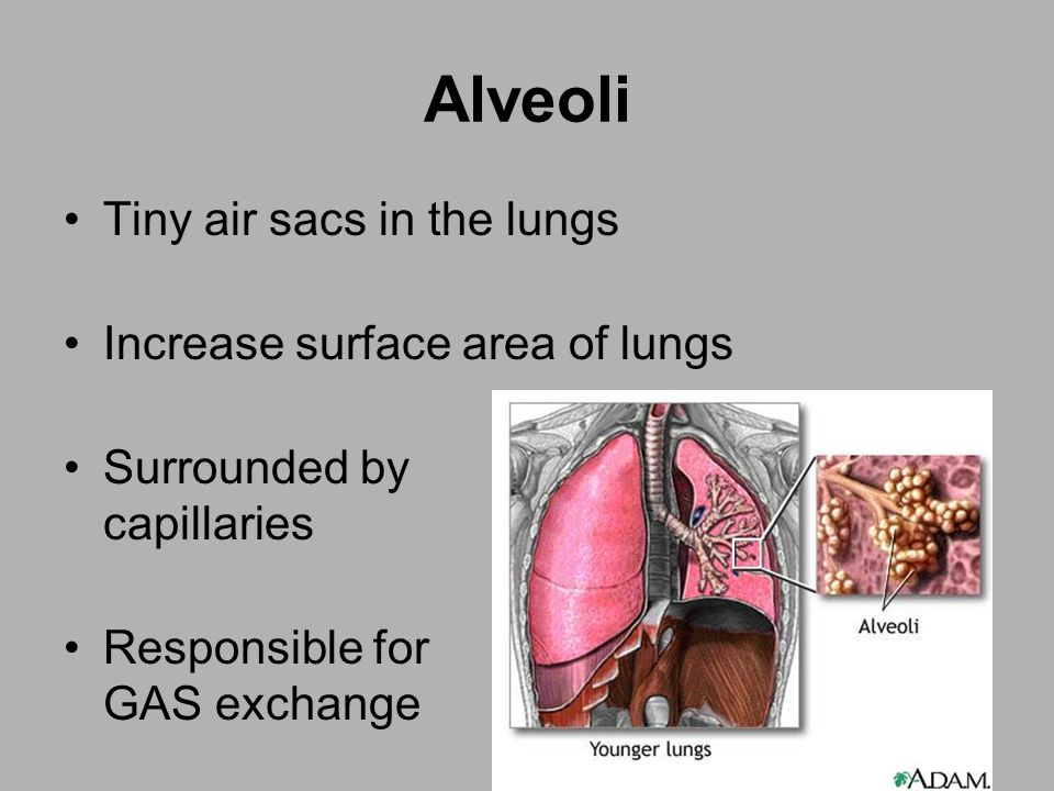 Alveoli Tiny air sacs in the lungs Increase surface area of lungs