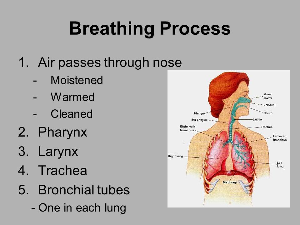 Breathing Process Air passes through nose Pharynx Larynx Trachea