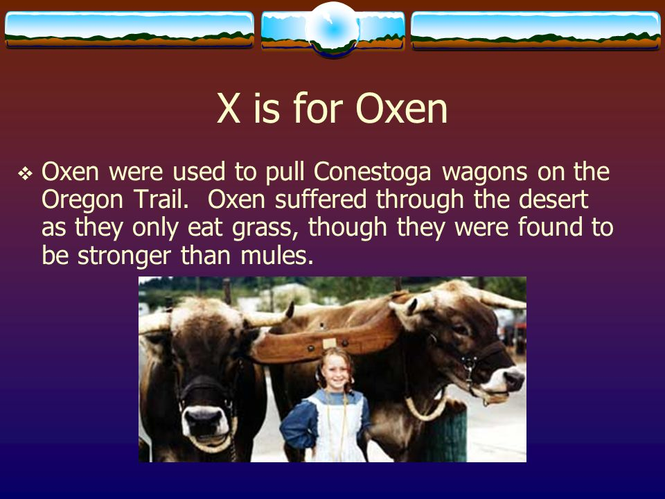 X is for Oxen