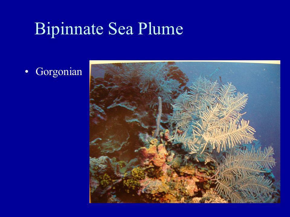 Bipinnate Sea Plume Gorgonian