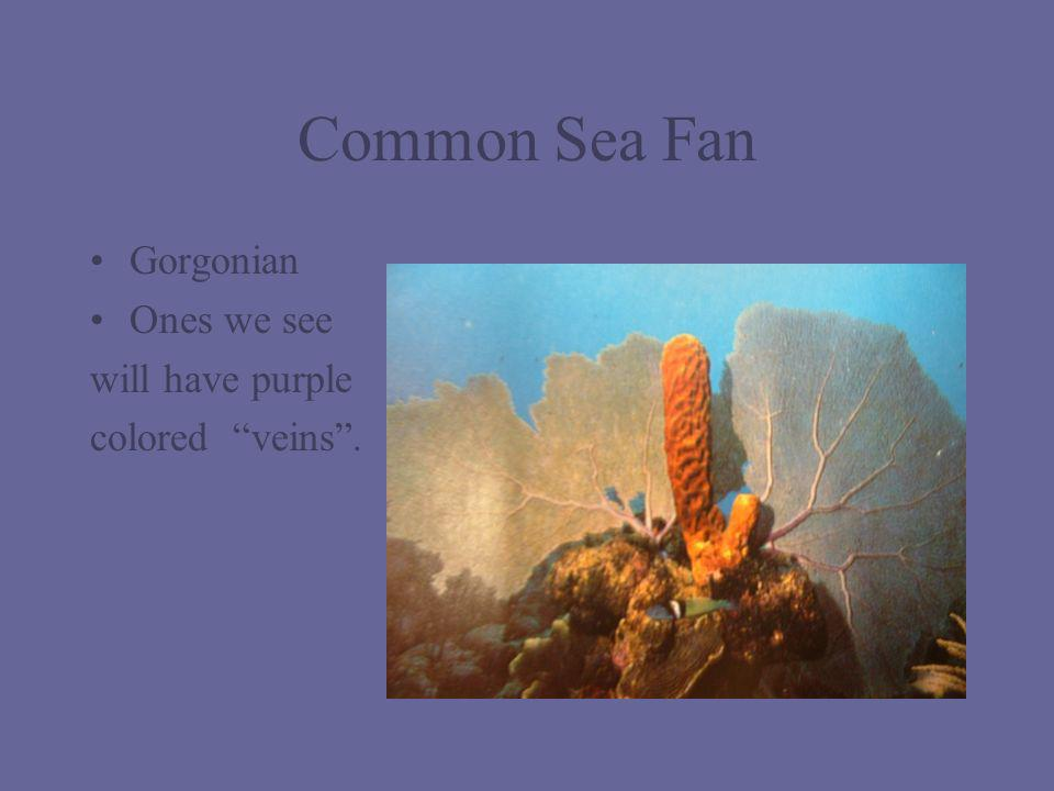 Common Sea Fan Gorgonian Ones we see will have purple colored veins .