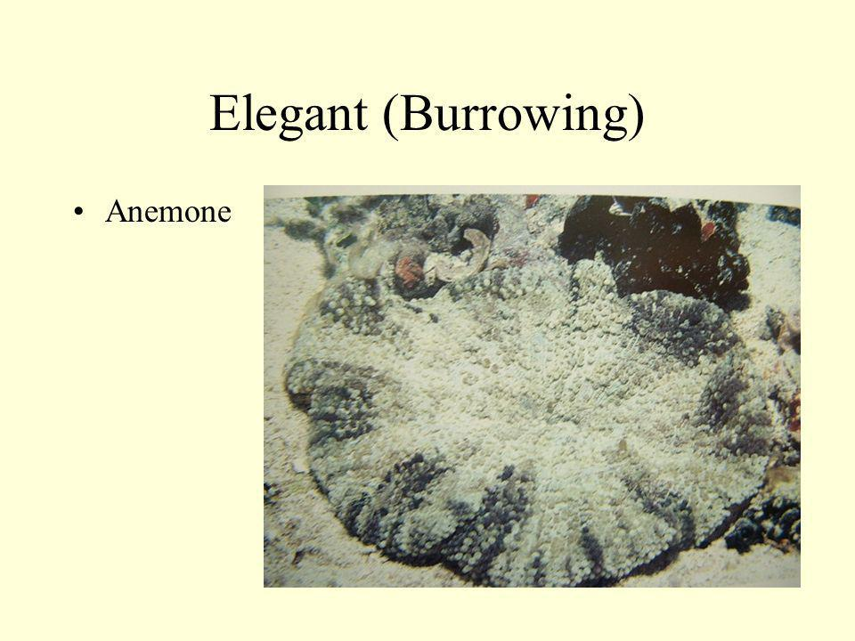 Elegant (Burrowing) Anemone