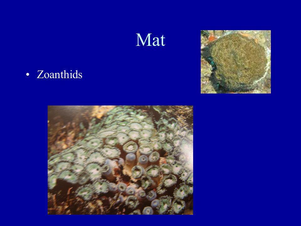 Mat Zoanthids