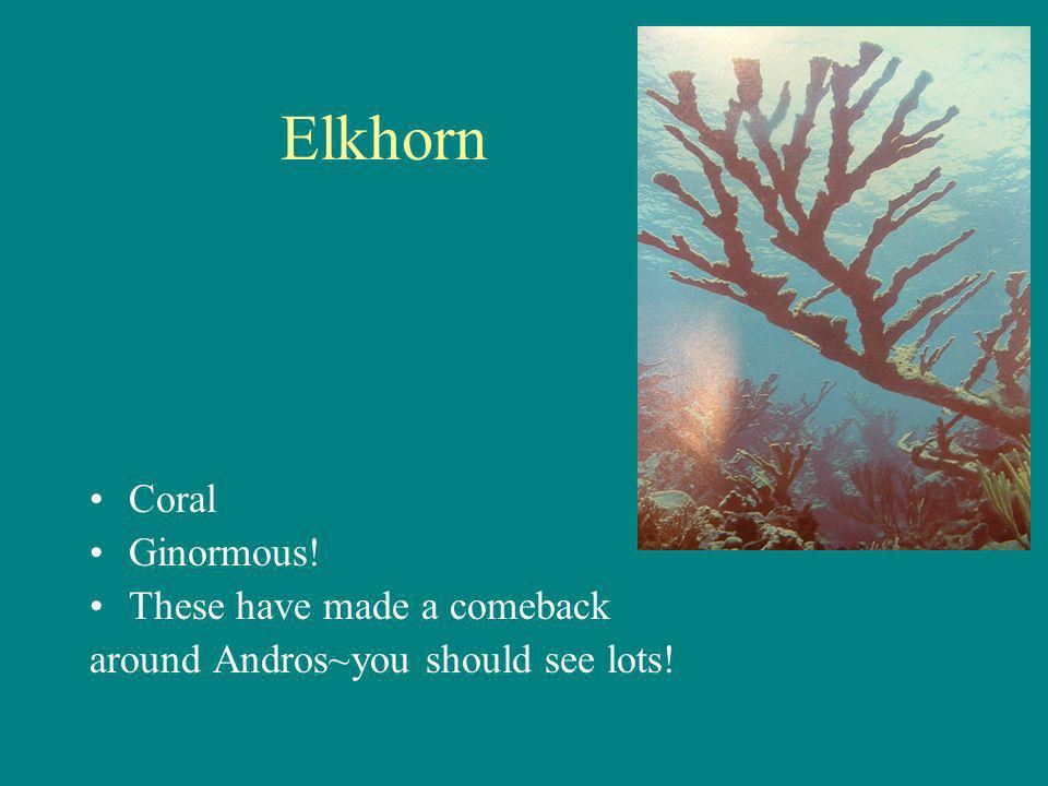 Elkhorn Coral Ginormous! These have made a comeback