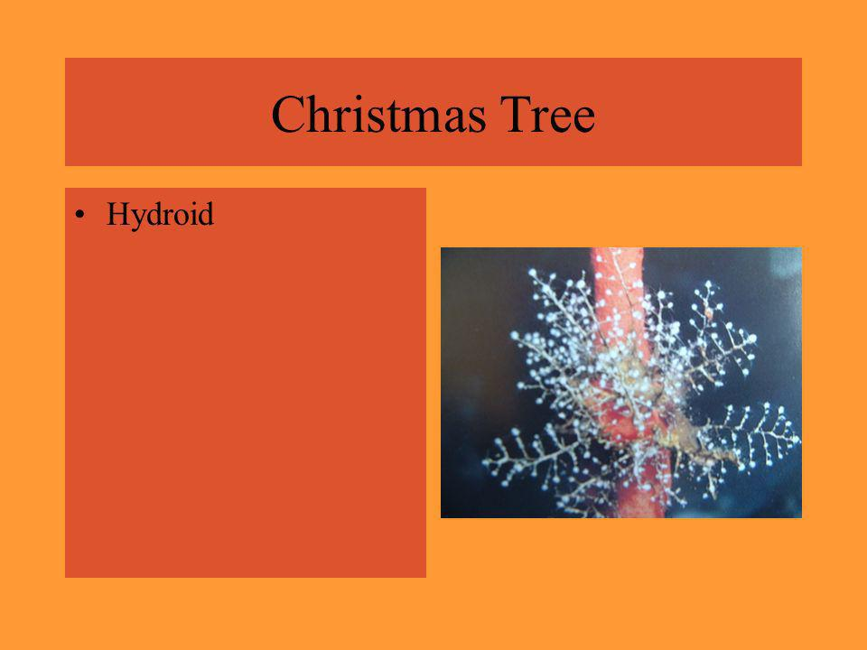 Christmas Tree Hydroid