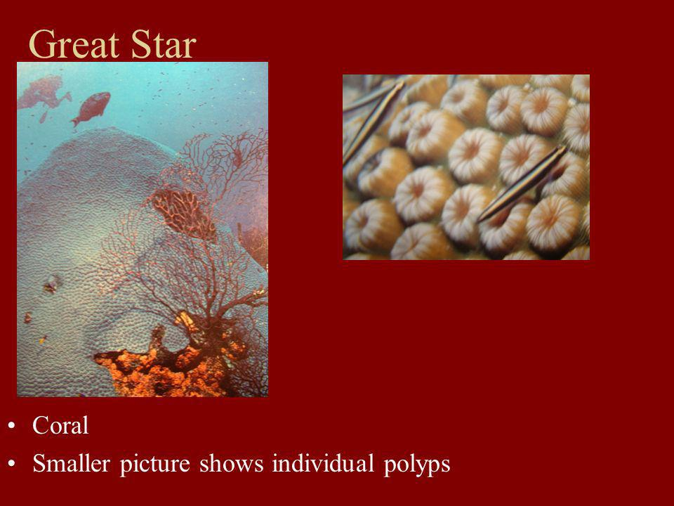 Great Star Coral Smaller picture shows individual polyps
