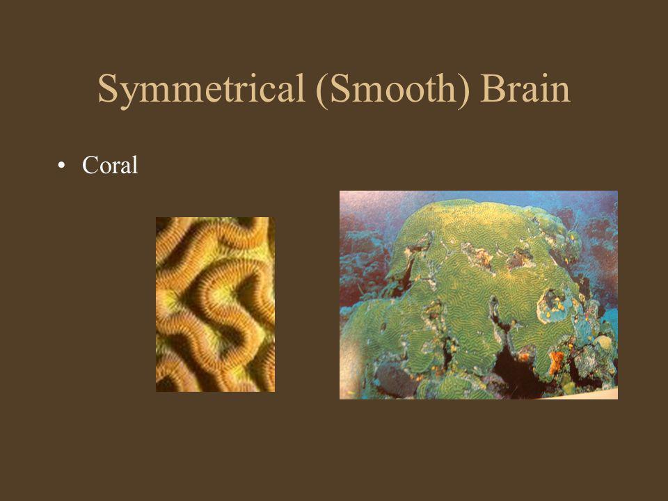 Symmetrical (Smooth) Brain