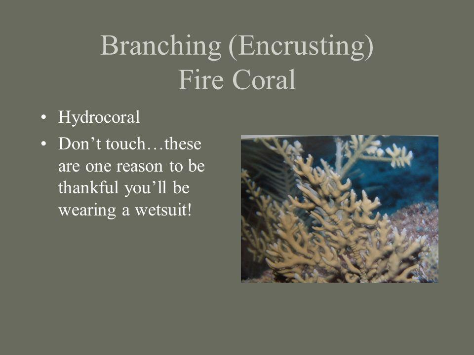 Branching (Encrusting) Fire Coral