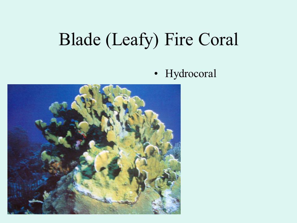 Blade (Leafy) Fire Coral